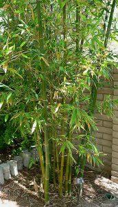 Bambus für ein langes Leben